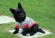 Kizzy the Scottish Terrier x West Highland Terrier