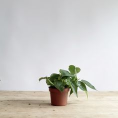 A fast growing climber/trailer with heart-shaped,pale green, glossy leaves. Position in good indirect light and mist the leaves regularly. Water freely from Spring to Autumn and then more moderately in winter. Measures approx. 17cm [Pot diameter: 12cm] Feed throughout the Summer with a good all pu