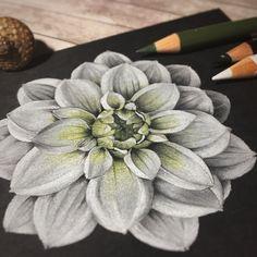 Иллюстрация цветными карандашами на черной бумаге Colored pencils illustration on black paper ботаническая иллюстрация Botanical illustration flowers цветы