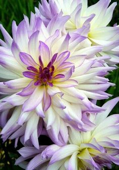 LAVENDER CHIFFON dahlia, 1957 – With its rippling, snow-white petals blushed with rosy lavender, it may remind you of sea anemones on a coral reef – or senior prom? All Flowers, Amazing Flowers, Purple Flowers, Beautiful Flowers, Dahlia Flowers, Purple Dahlia, Soft Purple, Beautiful Gorgeous, Tulips