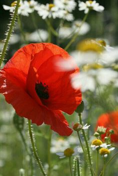 Poppies are one of my favorite flowers! Flowers Nature, Red Flowers, Beautiful Flowers, Red Poppies, Belle Photo, Pretty Pictures, Mother Nature, Planting Flowers, Photos