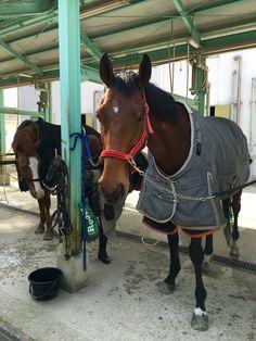 Ramses, dalle 11:00 al 5 febbraio 2016 venerdì per il corso di trotto con istruttrice Kashihara e gli altri 6 cavalli; Anderico, Fuji, Perry, Bambina, Grants, Olimpia. Ramses era bravo e correva in quarto luogo.