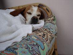 english pointer  Leda  -   Che bello dormire sotto la coperta