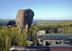 safari ride - an elephant gets close in Gondwana Safari Food, South Africa, Elephant, African, Canning, Eat, Elephants, Home Canning, Conservation