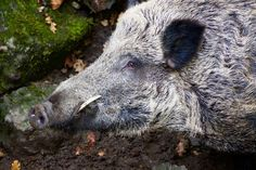 Found on multiple continents, the wild boar prefers grassy savanna areas, agricultural areas, wooded forests, shrublands, and marshy swamplands. There are 4 known subspecies of wild boar, pretty much differentiated by coloration. These critters are strong, fast, and eat pretty much anything. They also have an attitude. So give em room. Even though they suffer at the hands of habitat loss and are actively hunted, they #aggressive #boar #forest #hog #nocturnal #pig #predator #prey #tusk