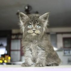 Sweet adorable long haired gray kitten / kitty cat / #cats ❤️