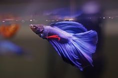 Pinner before: Betta fish....only one of many new additions to our pond and fish tanks
