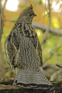 Ruffed Grouse, 1 of 10 North American grouse species; very hardy, surviving harsh winters that decimate flocks of quail, pheasants and turkeys.