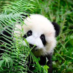 Panda - a marsupial, NOT a bear! Cute Creatures, Beautiful Creatures, Animals Beautiful, Panda Bebe, Cute Panda, Nature Animals, Animals And Pets, Wild Animals, Photo Panda