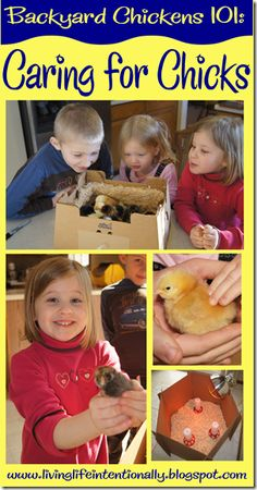 Caring for Baby Chickens - part of Backyard Chickens 101 Series! Lots of tips on where to buy chickens, what you will need to brood baby chicks, what you need to watch for, and lots of *cute pictures*