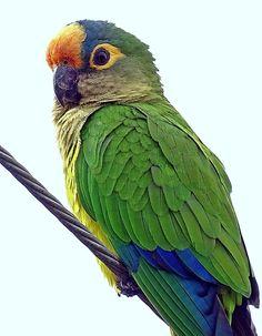 Foto periquito-rei (Eupsittula aurea) por Odilon Simões Corrêa | Wiki Aves - A Enciclopédia das Aves do Brasil