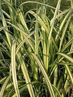 Miscanthus sinensis 'Cabaret'. Cabaret Japanese Silver Grass.