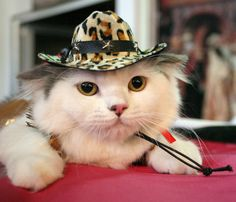 Cats and their owners from Kyrgyzstan and Kazakhstan gathered in Bishkek to show off their pets. Above is a Scottish Fold cat wearing a hat during the exhibition.