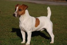 Looks a lot like my first Jack Russel, Leroy, RIP.                              …                                                                                                                                                                                 Plus