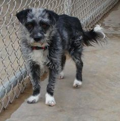 02/26/17-Jerry  Dog • Terrier Mix • Adult • Male • Small  Animal Rescue League of El Paso El Paso, TX    Jerry  Jerry  Jerry