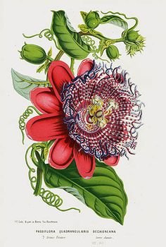 Пассифлора - 1845 Louis Van Houtte Botanical Prints Tulip, Peony, Camellia