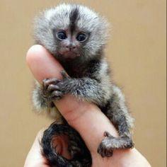 Finger monkey.  Its so tiny and fluffy I'm gonna die.