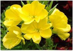 Dwarf Evening Primrose (Oenothera Missouriensis) - Start Primrose seeds for a truly terrific display in the late spring. The Dwarf Evening Primrose plant is packed with vivid saucer-shaped, golden-yel Small Flower Gardens, Small Flowers, Yellow Flowers, Beautiful Flowers, Primrose Plant, Primrose Oil, Evening Primrose Flower, Flower Garden Design, Moon Garden
