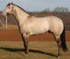 Halter&Stock: Xceptionally Dunn - AQHA Grulla Champagne Stallion Owned by Xceptional Quarter Horses Types Of Horses, Horses And Dogs, Wild Horses, Horses For Sale, Rare Horses, Grulla Horse, Dun Horse, All The Pretty Horses, Beautiful Horses