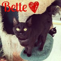 Bette - Domestic Short Hair available for adoption at Colony Cats & Dogs in Dublin, OH. Please contact the shelter directly for more information regarding this adoptable pet. Colony Cats & Dogs Address: 2740 Festival Ln, Columbus, OH 43017 Phone:(614) 570-0471