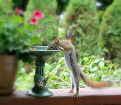 Thirsty squirrel  http://hafermanwater.com