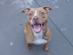 TO BE DESTROYED - 06/16/14 Brooklyn Center - P  My name is CHYNA. My Animal ID # is A1002313. I am a spayed female brown and white pit bull mix. The shelter thinks I am about 1 YEAR   I came in the shelter as a OWNER SUR on 06/06/2014 from NY 11422, owner surrender reason stated was MOVE2PRIVA.   https://www.facebook.com/photo.php?fbid=818746061471608set=a.611290788883804.1073741851.152876678058553type=3theater