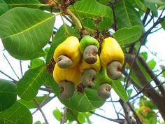 Cashews on the cashew tree ...I always wondered what these looked like. Weird---
