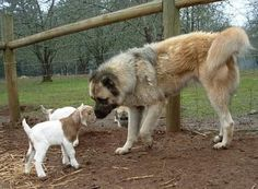 Anatolian Shepherd- the AKC name for Kangals and Karabash breeds. All are Turkish breeds and differentiated by many breeders and Turkish dog owners... a lot of nationalistic sentiments get tied up in naming some of these dog breeds...