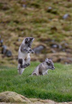 Polarræv - Svalbard   Flickr - Photo Sharing!