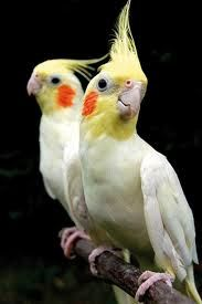 COCKATIELS: A list of Cockatiels in the UK that need re-homing from the Birdline UK website http://www.parrot-rescue.org.uk/portalid/0/Parrots/BirdlineParrotRehoming/tabid/169/agentType/ViewType/PropertyTypeID/13/Default.aspx