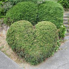 hedges shaped like hearts