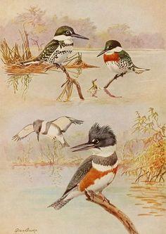 1930s Texas Kingfisher Vintage Bird Print, Allan Brooks Color Book Plate No 87-2, Antique Bird Illustration Art, Natural History, To Frame