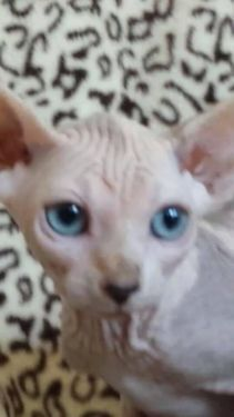#sphynx#kittens#available now#very clean#litter trained#beautiful#