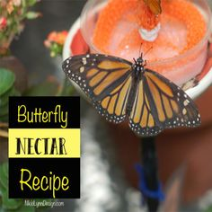 Want to attract butterflies to your yard all you have to do is feed them. Either by plant or providing nectar for them to feed on. Butterfly Food, How To Make Butterfly, Butterfly Feeder, Butterfly Plants, Butterflies, Butterfly Design, Hummingbird Nectar, Hummingbird Food, Overwintering Geraniums