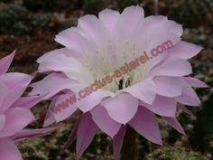 Echinopsis 'Princess Ann' DSCN0975