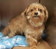 SAFE - 01/16/16 - CASH - #A1063048 - Urgent Manhattan - MALE BROWN YORKSHIRE TERR MIX, 5 Yrs - OWNER SUR - STRAY NO HOLD Reason NO TIME - Intake 01/15/16 DueOut 01/15/16