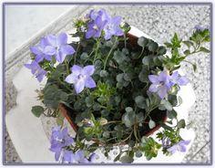 Maviş Çiçeği | Bakımı | Üretimi (Campanula Carpatica) - Sayfa 3 - Forum Gerçek