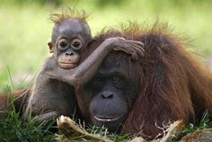 """Orangutans. Critically endangered--due to human """"activity""""--orangutans are considered to be one of the most intelligent and highly sophisticated primates alive, today. Please try not to buy products containing palm oil. Their future is at stake."""