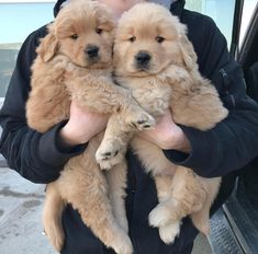 Little fluffy puppies Cute Cats And Dogs, Cool Pets, Fluffy Puppies, Cute Puppies, Pet Ramp, Golden Puppy, Puppy Eyes, Dog Lovers, Dog Cat