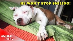 After Rescued This Stray Pit Bull Won't Stop Smiling - YouTube #pitbull