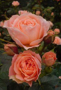 Rosas cor de pêssego
