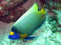Angel Fish <3