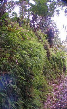 trail to Akaka Falls.