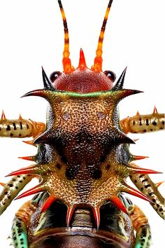 Cosmoderus sp.