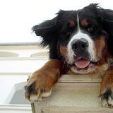 This looks like my friends dog. I Love Dogs, Puppy Love, Cute Dogs, Awesome Dogs, Animals And Pets, Baby Animals, Cute Animals, Bernese Mountain, Mountain Dogs