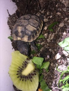 Baby tortoise and kiwi #tortoise #turtle #love #animals