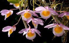Dendrobium loddigesii – Loddiges' Dendrobium