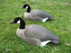 painting feathers on Canadian goose