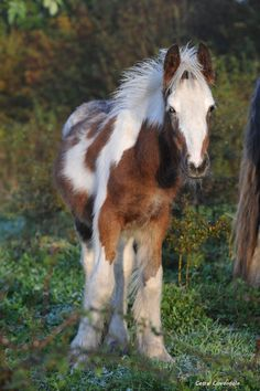 All sizes | Gypsy colt foal | Flickr - Photo Sharing!
