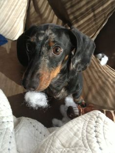 I see this exact face with a tuft of cotton all too often! Doxie Puppies, Mini Dachshund, Weenie Dogs, Daschund, Doggies, Funny Dogs, Cute Dogs, Miniature Dachshunds, Cute Animal Photos